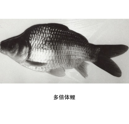 Polyploidy fish generated in one generation