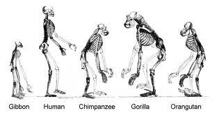 human evolution2