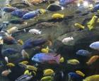 A Few Hundreds of Cichlids Fishes Formed in Short Period of Time in East African Lakes