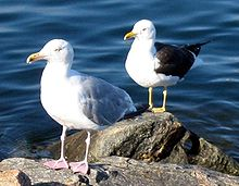 Herring gull (left) is a famous case often cited. Later discovery has denied the claim.