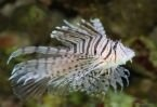 Old Pterois volitans does not have feather-like tentacle